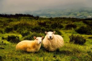 Two sheep lounging in a meadow.